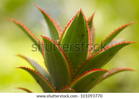 pineapple - stock photo