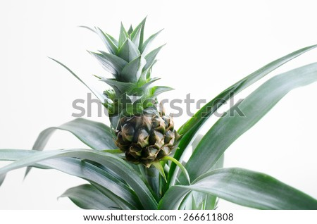 pineapple as pot plant - stock photo