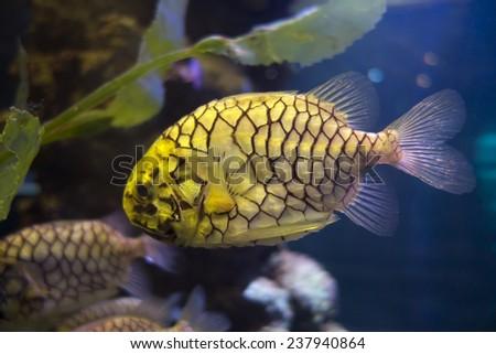 pineapple fish - stock photo