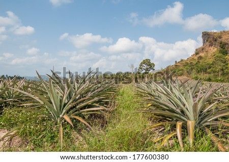 Pineapple fruit (ananas comosus) growing under blue sky in south of Thailand