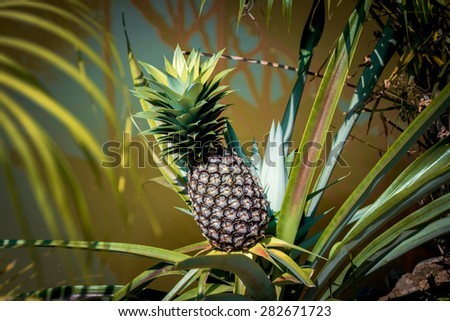 Pineapple growing on a bush. background