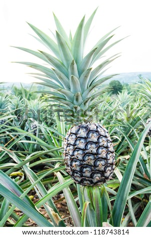 Pineapple in plant