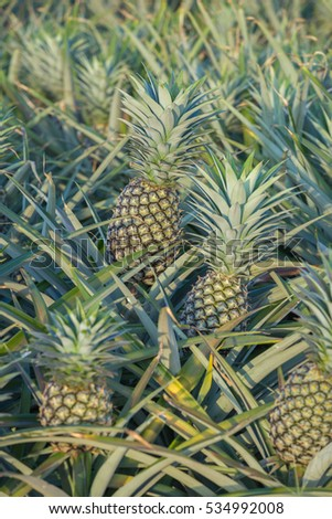 Pineapple plant, tropical fruit growing in a farm, Thailand