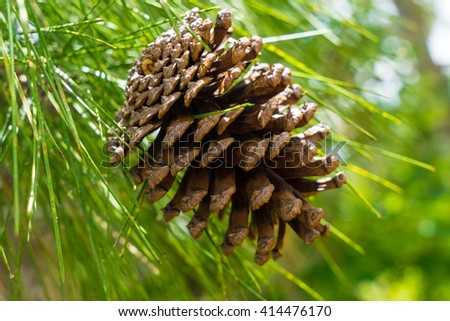 Pinecone hanging from the tree closeup - stock photo