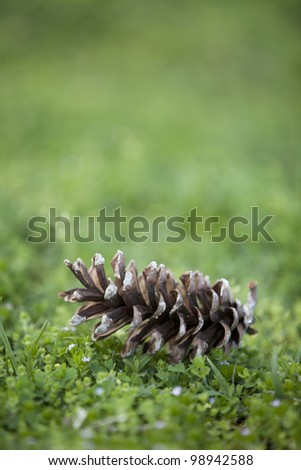 Pinecone sitting on the ground in the spring. - stock photo