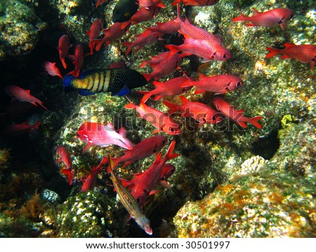 Pinecone soldierfishes and coral reef