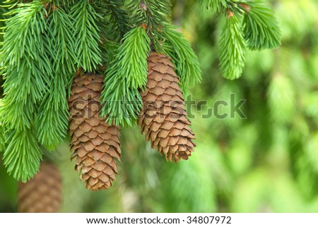 Pinecones hanging from the branches of an evergreen tree. - stock photo