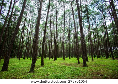 pinery, pine forest, Pine Tree - stock photo