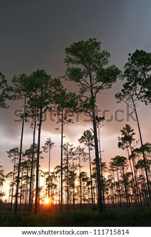 pines and setting sun - stock photo