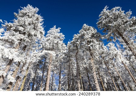 Pines covered in snow under a blue sky, Taunus, Germany - stock photo