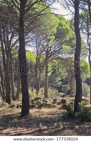 Pines in Cadalso de los Vidrios. Madrid. Spain. Europe.