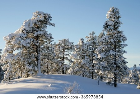 Pines With snow