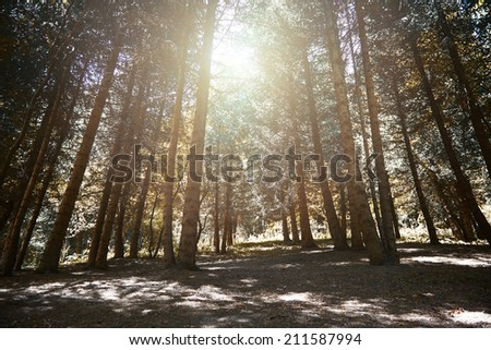 Pinewood forest at sunset. Horizontal colorful photo - stock photo