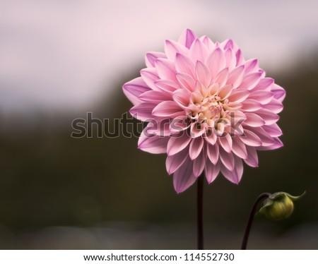 Pink - stock photo