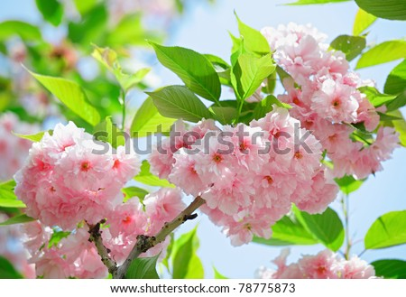 Pink abloom japanese cherry (sakura) blossom in sunny spring day with beautiful bokeh - stock photo