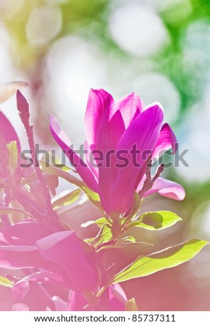 Pink abloom magnolia flower in sunny spring day with beautiful bokeh - stock photo