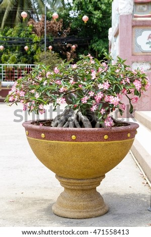 Pink Adenium  in Potted