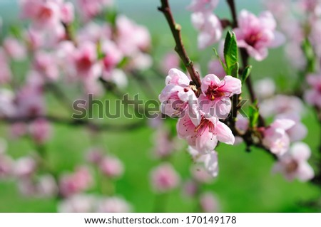 Pink almond blossom - stock photo