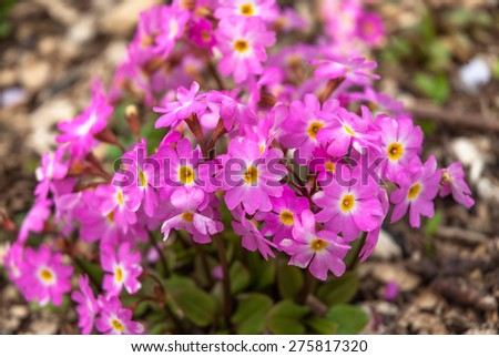 Pink alpine primula flowers in early spring. - stock photo