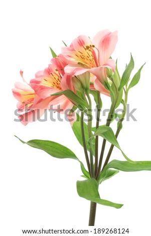Pink alstroemeria isolated on white background  - stock photo