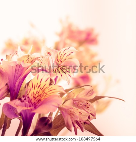 Pink alstroemeria isolated on white background closeup - stock photo
