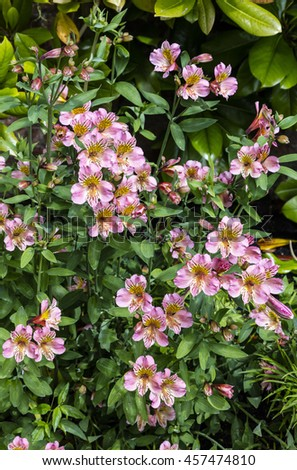 Pink Alstromeria flowering plant in a garden. - stock photo