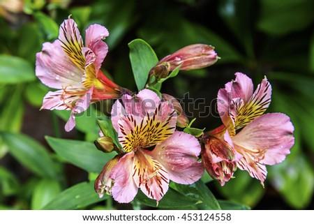 Pink Alstromeria flowers in a garden. - stock photo
