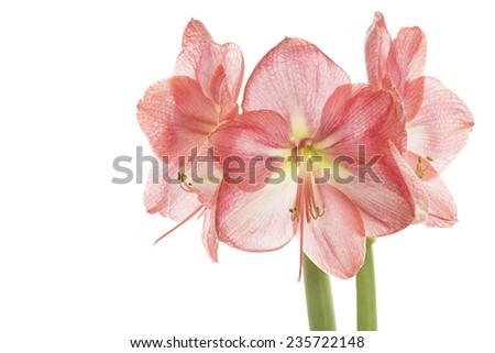 Pink Amaryllis closeup, isolated on white - stock photo