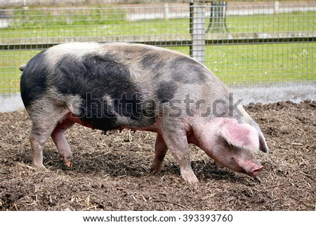 Pink and black sow (Sus scrofa) seen from profile - stock photo
