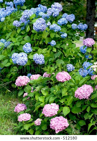 pink and blue hortensia in japanese garden