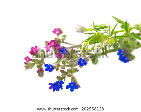Pink and blue wild flowers isolated on white