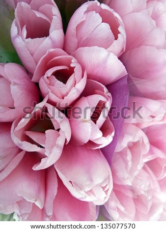 Pink and lavender tulips