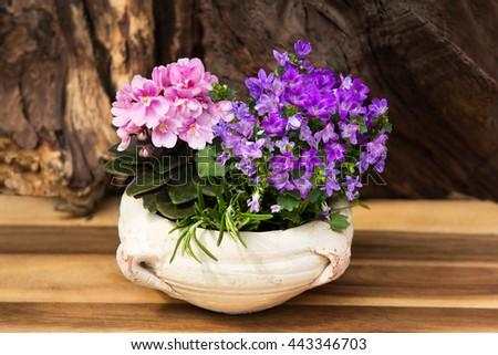 Pink and lilac indoor flowers Bellflowers and in a earthen potas indoor decoration.