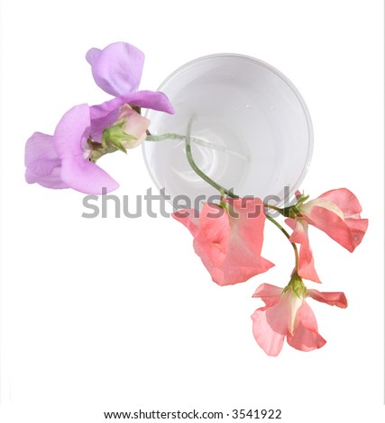 pink and lilac sweet pea blossoms in a white glass, shot from the top