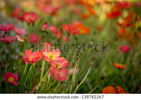 Pink and orange poppies on green field in sunny day. Also available in vertical format.