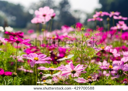 pink and purple cosmos on field