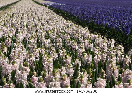 Pink and purple flowering bulbs (hyacinths) at Keukenhof gardens in Holland - stock photo