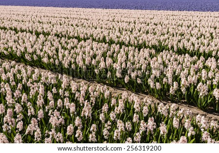 Pink and purple flowering hyacinths in the field of a Dutch nursery on a sunny day in springtime. - stock photo