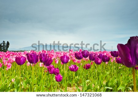 Pink and purple tulips in Skagit Valley - stock photo