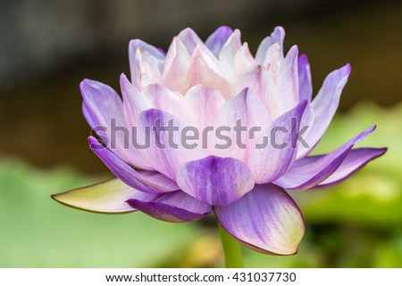 Pink and purple water lily or lotus flower, in soft blurred style, on green blur background, in Thailand. Macro.