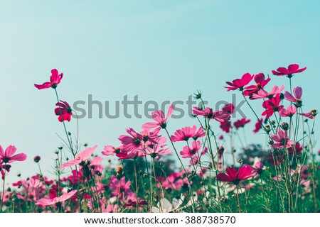 Pink and red cosmos flowers garden, soft focus and retro film look in blue green (mint) color tone - stock photo