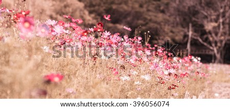 Pink and red cosmos flowers garden, soft focus and retro look in warm color tone