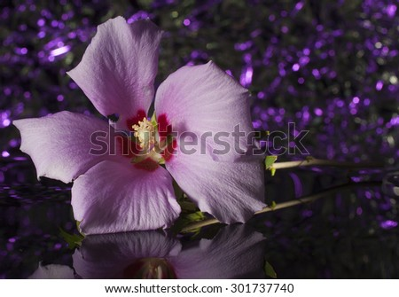 Pink and red hibiscus that has a purple background - stock photo