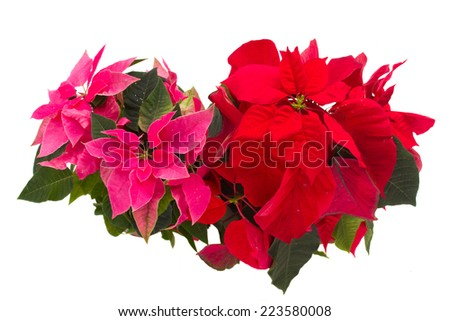pink and red poinsettia flowers or christmas star isolated on a white background  - stock photo