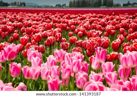 Pink and red tulips in Skagit Valley
