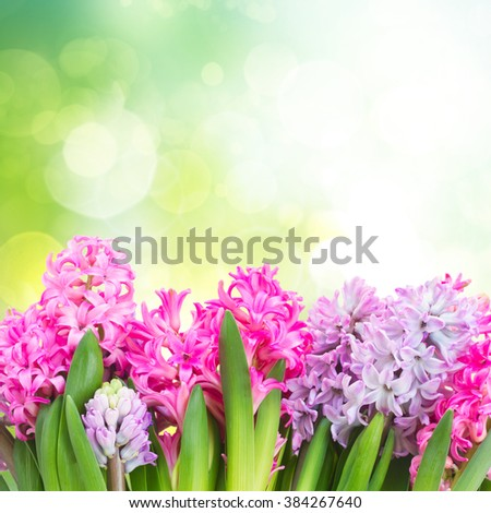 Pink and violet hyacinths in green garden  - stock photo