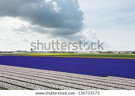 Pink and violet stripes of the hyacinth fields in the Netherlands