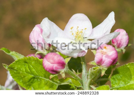 pink and white apple blossoms and buds blooming  - stock photo