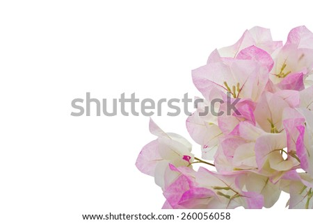 Pink and White bougainvillea isolated on white background and clipping path