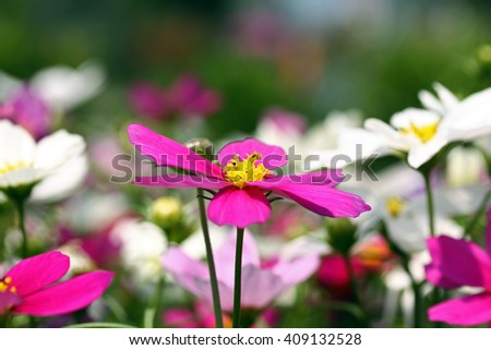 Pink and white Cosmos flowers, focus on pink flower, blurred background.